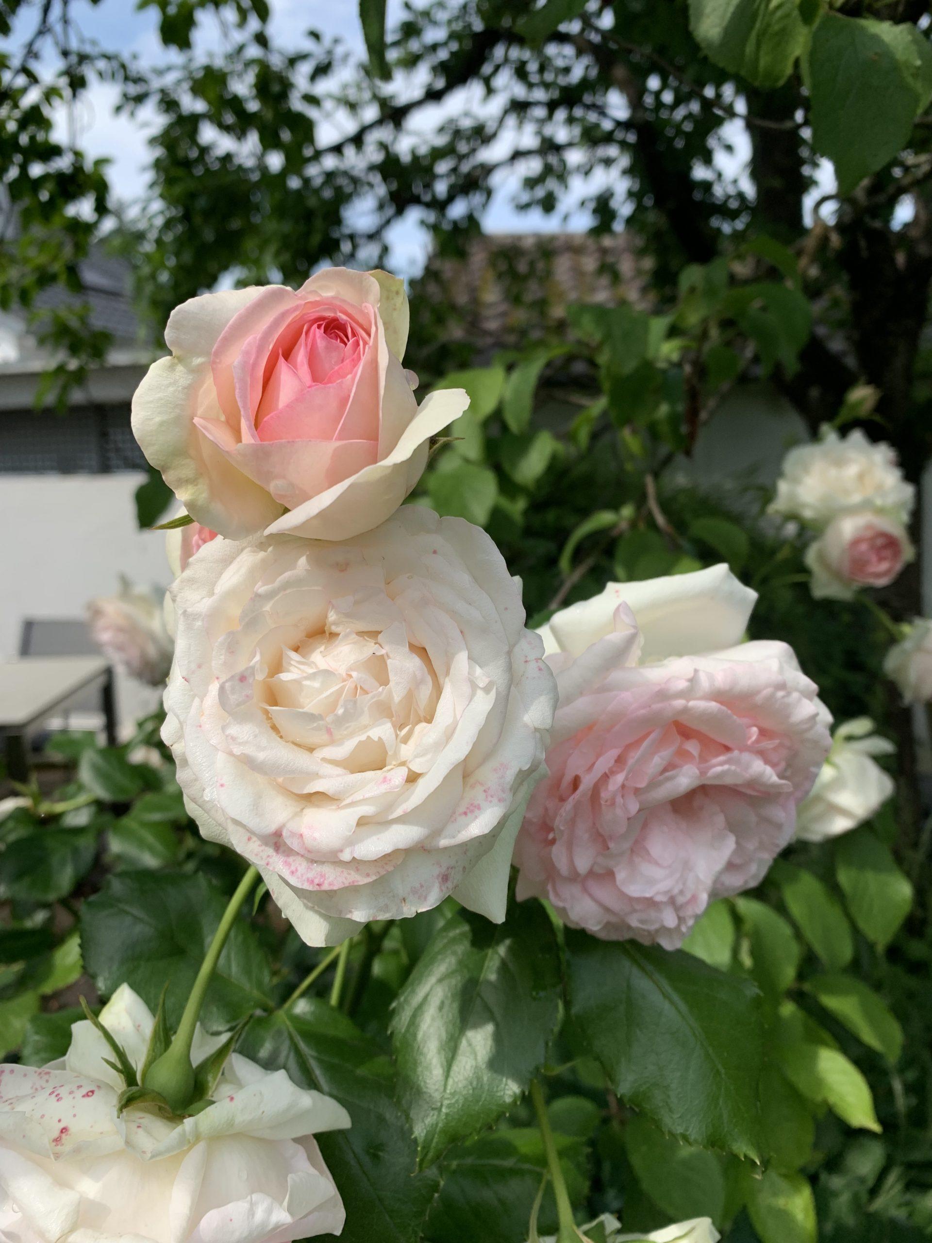 Tinte aus Rosenblüten
